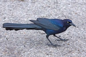 Great-Tailed Grackle (Male), Rockport Beach Park, Rockport, Texas