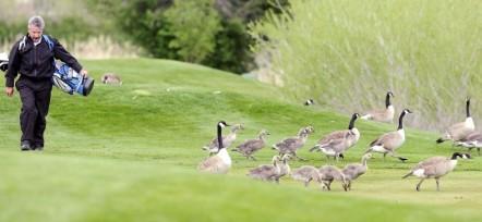 golfing-geese_zps9716b6961