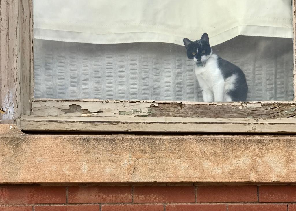 Kitten in a window